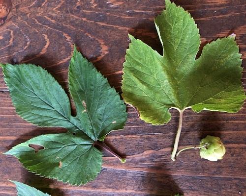 190803-hop-leaf