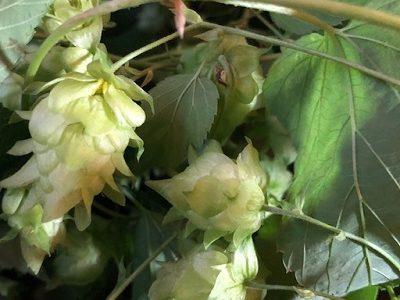 自家製ホップ、今年は3種類を収穫、勝手に収穫祭!